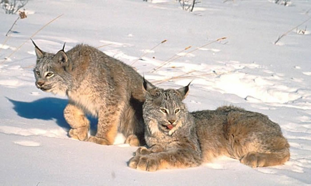Caturday - Lynx canadensis Edition