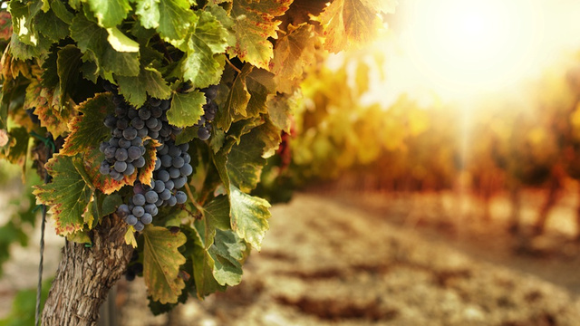 How a Total Accident Saved the French Wine Industry