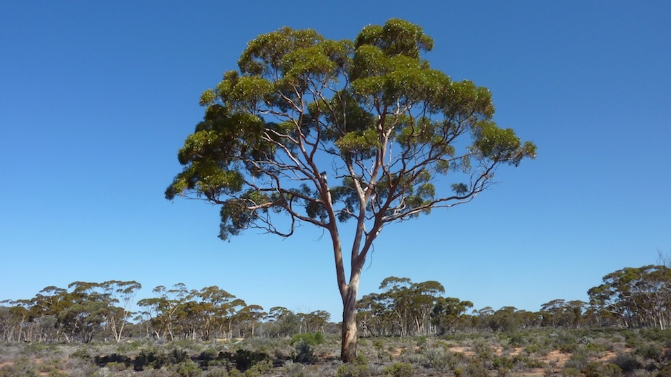 Death Of A Landscape: Why Have Thousands Of Trees Dropped Dead In New South Wales?