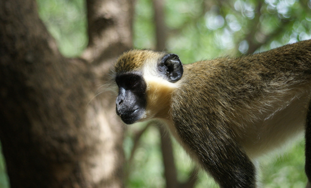"Monkeys Remember ""Words"" Used by Their Ancestors Centuries Ago"
