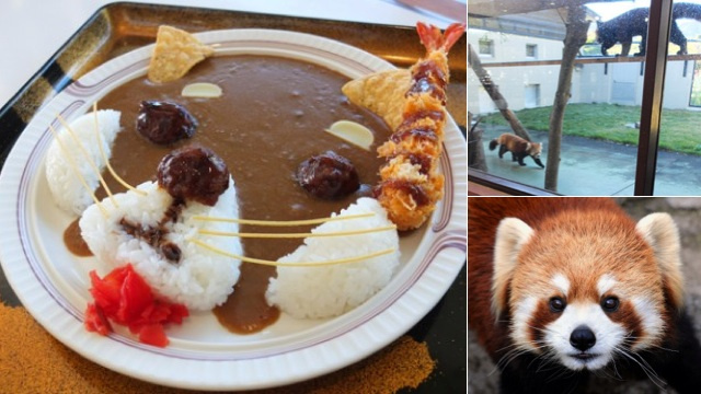 Red Panda Curry Is Best Served with Real Pandas