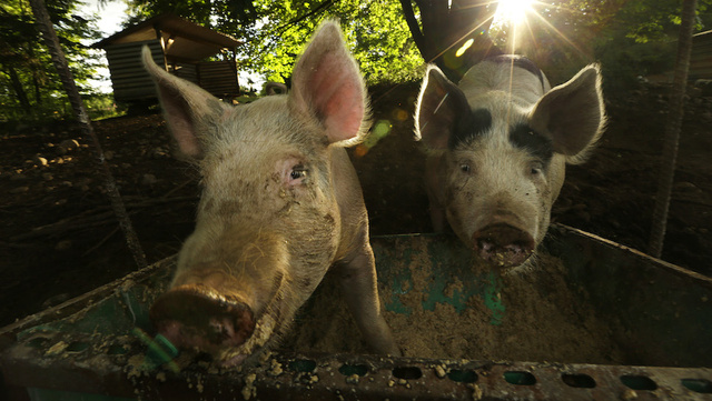 Exploding Hog-Manure Foam Is Costing Farmers Millions