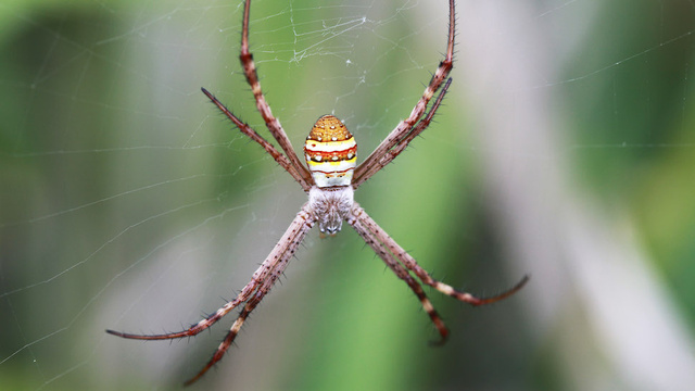 "Male Spiders ""Shudder"" to Calm Their Cannibalistic Brides"