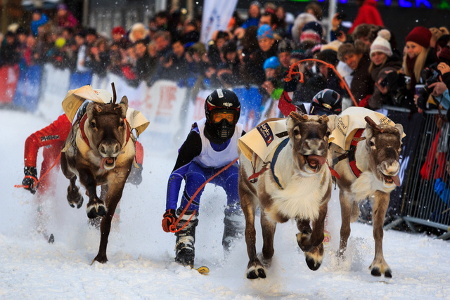Reindeer racing is a real thing