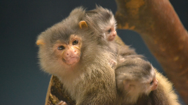 These Monkeys Always Give Birth to Twins – How Do They Do It?