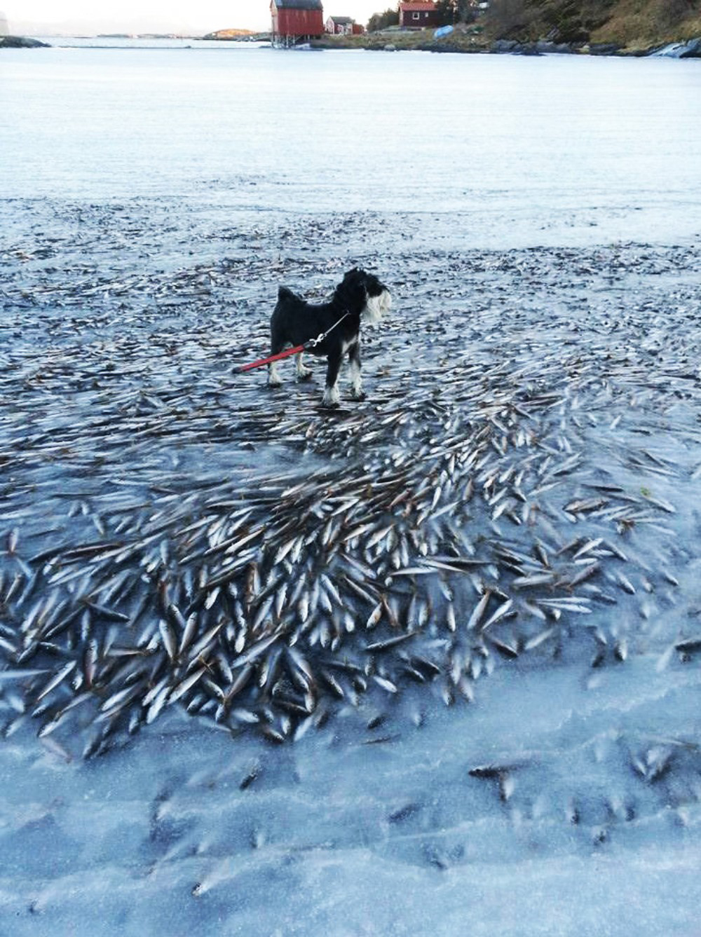 The sea froze so fast that it killed thousands of fish instantly