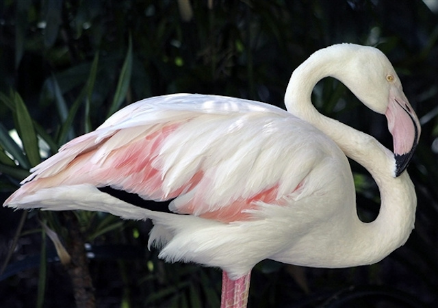 The world's oldest known flamingo has died