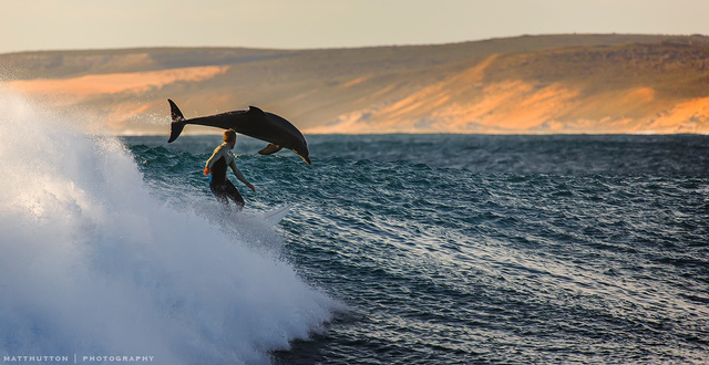 Human and dolphin surfing