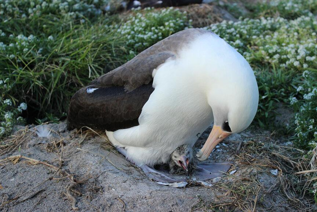 The world's oldest wild bird has given birth!