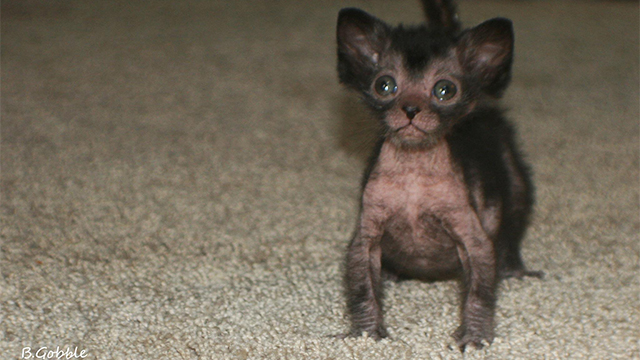 Humans create cat werewolves -- and they're very cute and very spooky