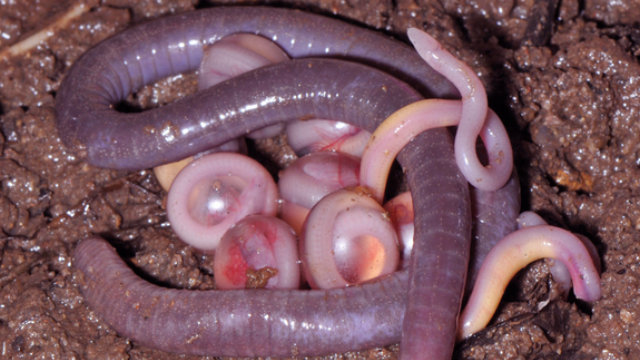 pictures of caecilians