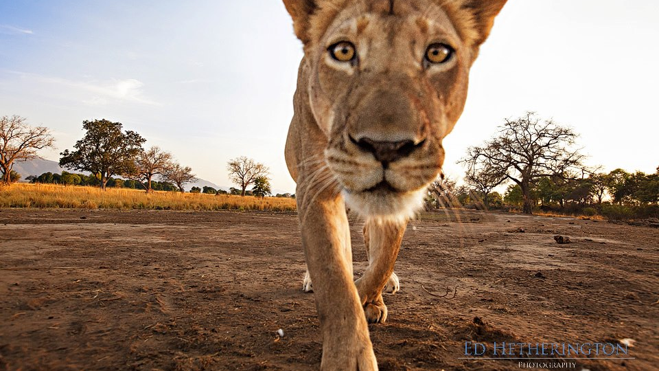 This Is What Happens When a Lion Steals Your Camera